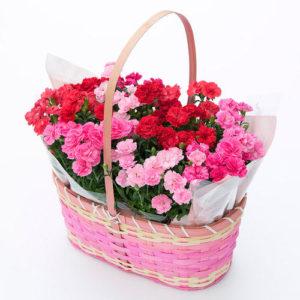 母の日のプレゼントにカーネーション【プリティーミックス】の10株寄せ植えが可愛くておすすめです。